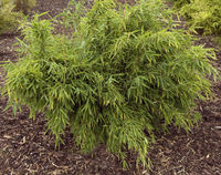 Bambus,  Fargesia Murielae, Kranich