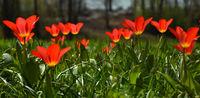 Tulpenbluete auf der Insel Mainau am Bodensee; Deutschland