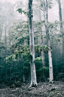 Trees in the forest with fog and wind