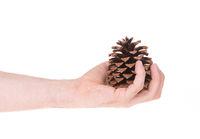 Single pine cone isolated