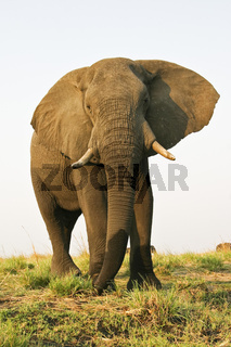Afrikanischer Bueffel oder Kaffernbueffel, Syncerus caffer, Chobe-Nationalpark, Botsuana, Afrika, African buffalo or Cape buffalo, Chobe National