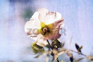 Stockrosenblüte leuchtend mit Textur