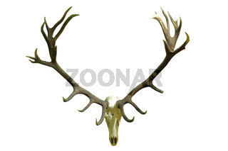 huge red deer skull with beautiful antlers isolated over white background