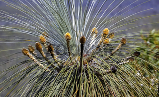 Crown of a Kingia australis, an Australian grass tree, Stirling Range National Park, Western Austral