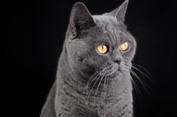 Portrait of a gray British shorthair cat