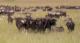 Wildebeests grazing in Serengeti National Park in Tanzania, East Africa.