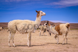 Flock of Lamas Alpacas in altiplano