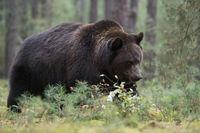 grimmiger Blick... Braunbär *Ursus arctos*