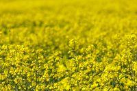 spring Rape field