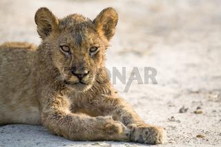 Junger Loewe (Panthera leo) Savuti, Chobe National Park, Botswana, Afrika, young Lion, Africa
