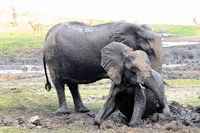im Schlammbad zwei Elefanten