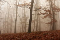 fog through the forest in a late autumn morning