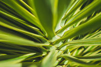 abstract plant background ,  palm tree closeup, palm tree leaves