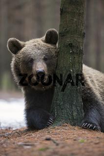 Blickkontakt... Europäischer Braunbär *Ursus arctos*