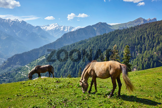 Horses in mountains. Himachal Pradesh, India