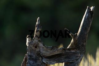 Streifenhoernchen auf alten Baum Yellowstone NP