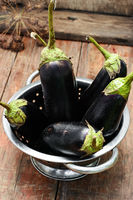 Summer crop of aubergine