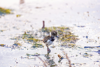 Young southern lapwing