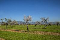 blühende Mandelbäume in einer Plantage auf Mallorca, Spanien, Europa
