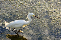 Young white heron walking at sunset