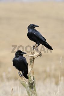 im Doppelpack... Kolkraben * Corvus corax *