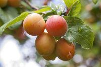 Mirabellen am Baum  (Prunus domestica subsp. syriaca)