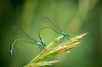 Pair of Common Blue Damselflies