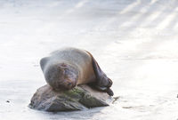 Sea lion eating on the ice