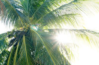 The sun's rays pass between the leaves of the coconut tree.