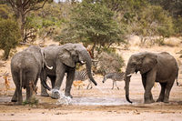 Elefanten am Wasserloch im Kruger Nationalpark Südafrika; african elephants at a waterhole, south africa, wildlife
