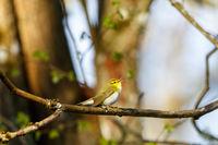 Wood Warbler singing in spring