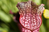 Sarracenia Purpurea.jpg