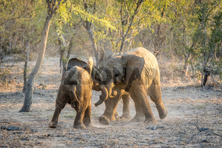Young African elephants playing.