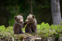 Brown bear cub