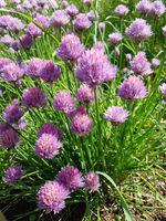 Schnittlauch, Allium; schoenoprasum