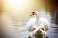 Swimming swan