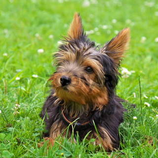 Yorkshire Terrier Toby