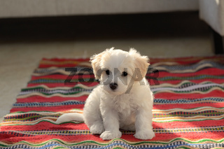 White puppy maltese dog sitting on carpet