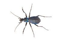 Ground beetle (Carabus intricatus) isolated on a white background