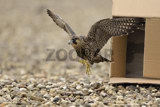 der Sprung in die Freiheit... Wanderfalke *Falco peregrinus*