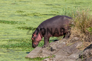 An hippo in the Kruger National Park South Africa