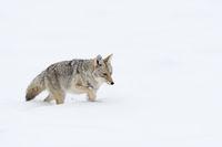 durch den Tiefschnee... Kojote *Canis latrans*