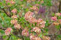 Bocksweizen, Atraphaxis pyrifolia - Atraphaxis pyrifolia a nice small flower