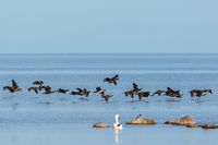 Bird migration with Great Cormorant at sea