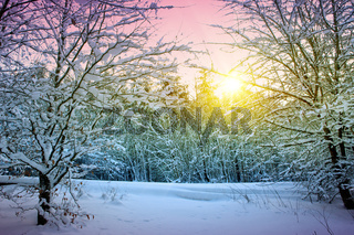 Trees with snow in winter .Winter sunset landscape.