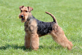 Typical Welsh Terrier  in the spring garden