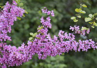 Blühender Gewöhnlicher Judasbaum (Cercis siliquastrum)