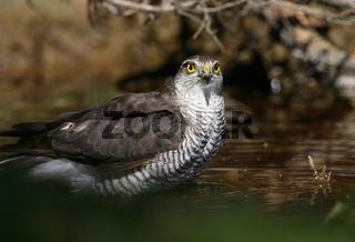 Sperber, Accipiter nisus, Sparrowhawk, Oesterreich, Austria