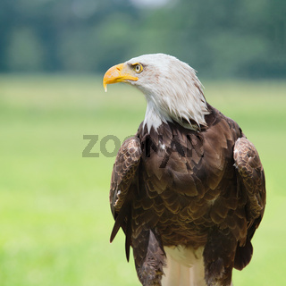 Bald eagle viewl profile