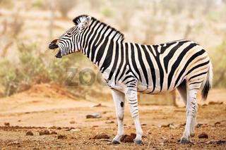 Steppenzebra gähnt, Südafrika, Kruger Nationalpark, tired Plains Zebra, South Africa